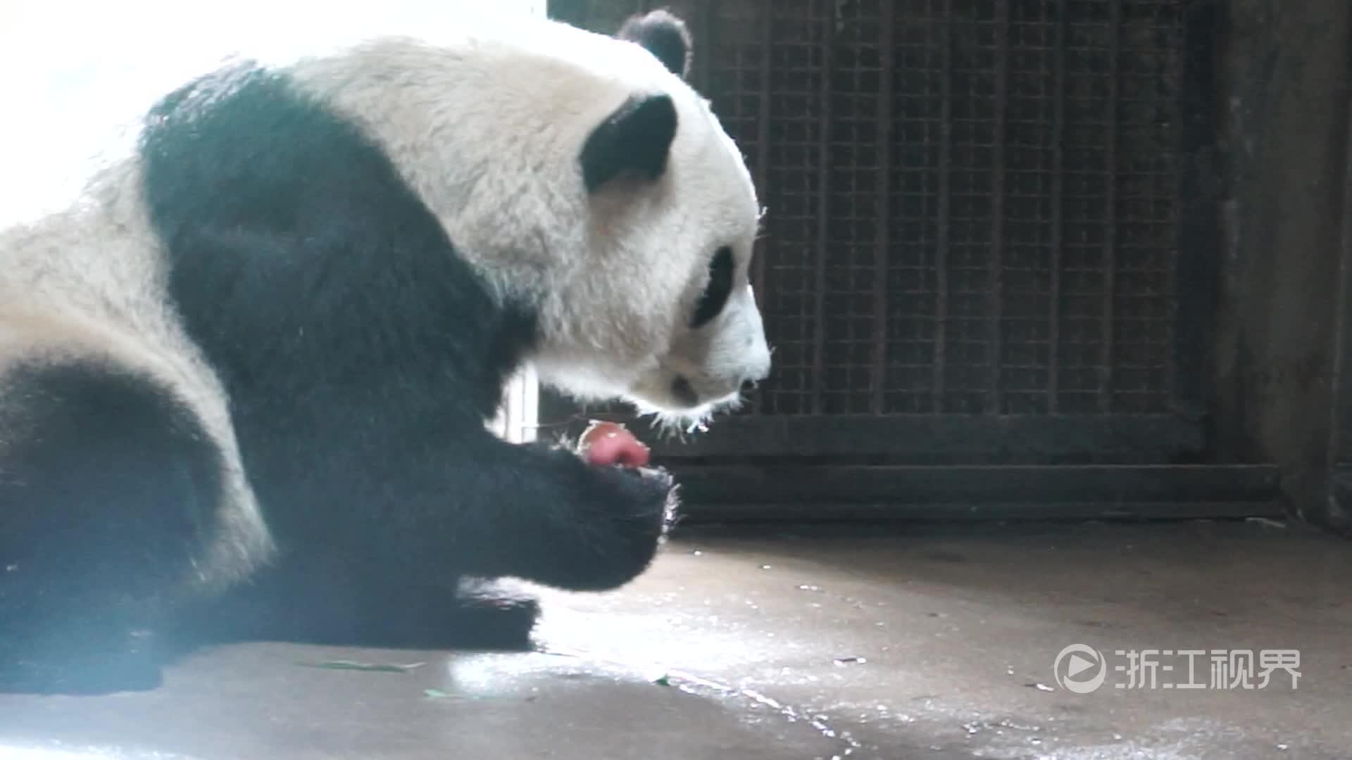 """杭州动物园熊猫馆新来两只""""圆滚滚"""""""