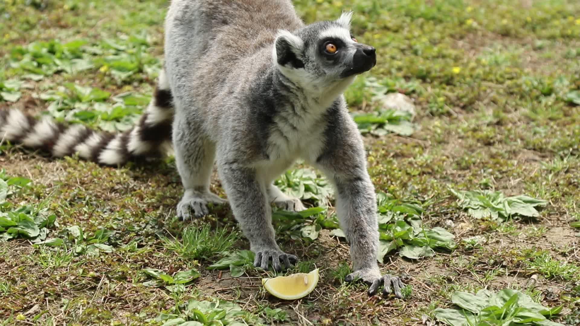 杭州野生动物园吃柠檬的环尾狐猴