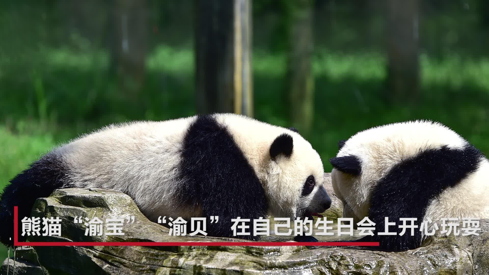 重庆动物园熊猫兄妹生日派对 萌化全场