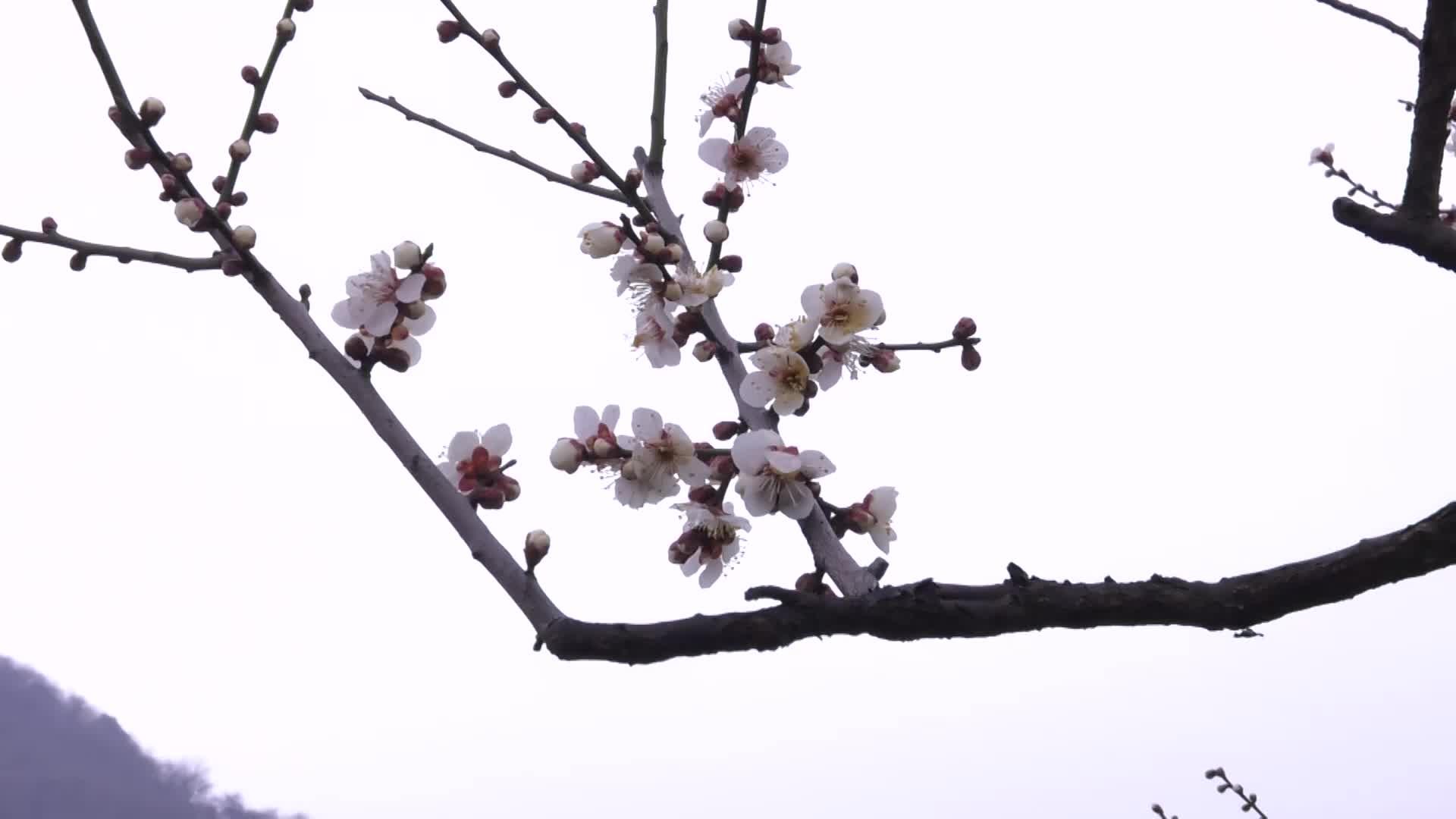 杭州超山5万余株梅花渐入佳境 新春佳节,杭州超山风景区的5万余株梅