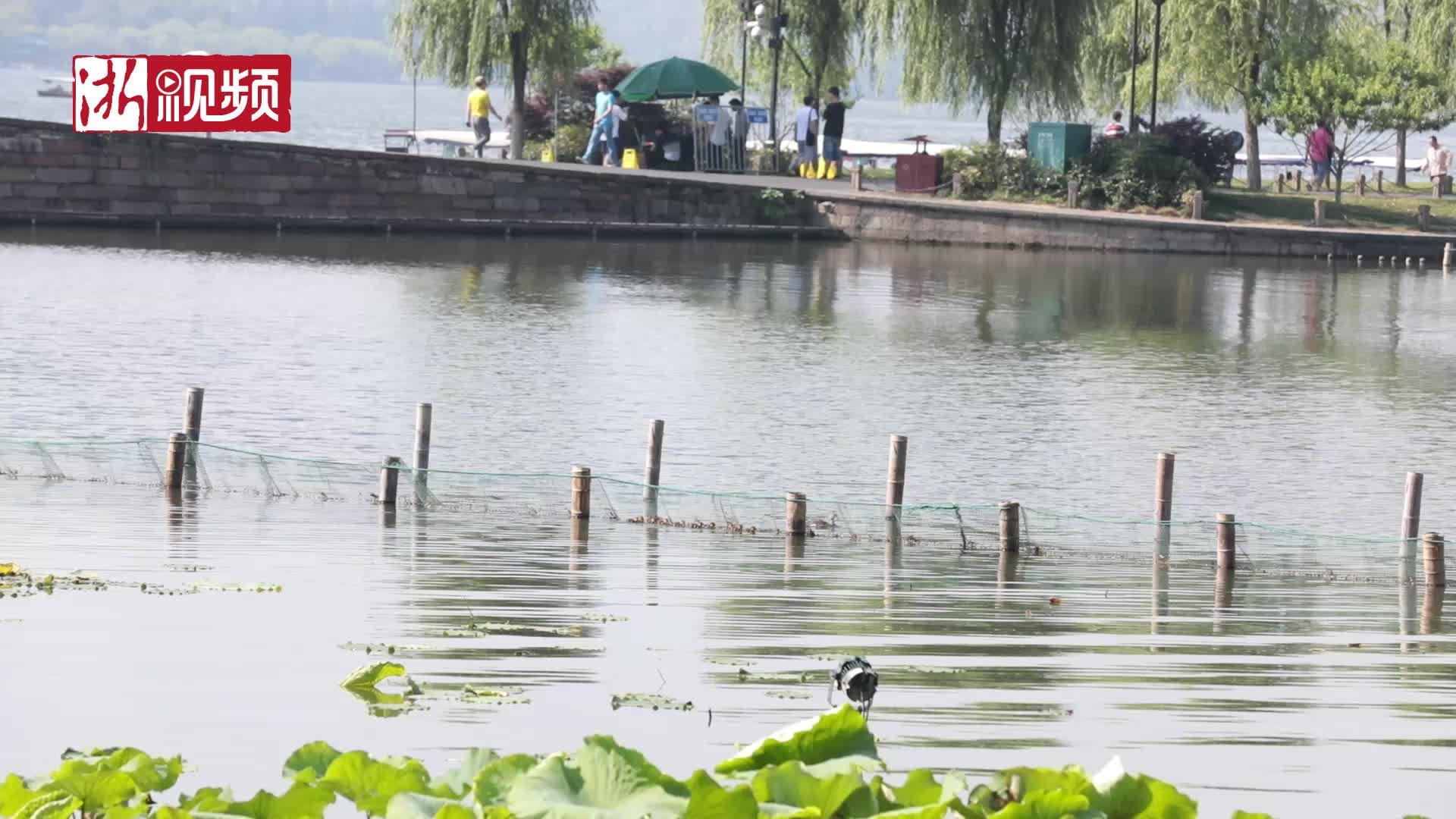 """好有爱 有人为西湖小鸳鸯搭建""""爱心桥"""""""