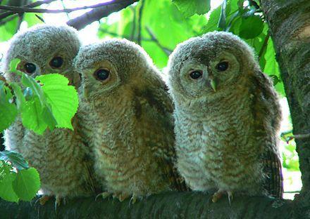 三只灰林鸮误入农家