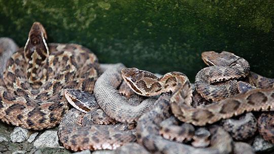 村民与百万条蛇同生活