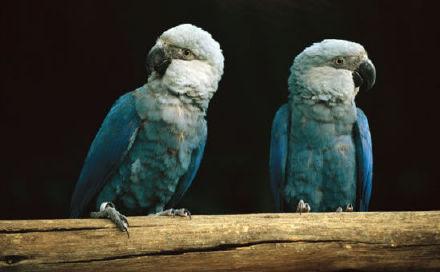 《里约大冒险》鹦鹉Blu原型灭绝
