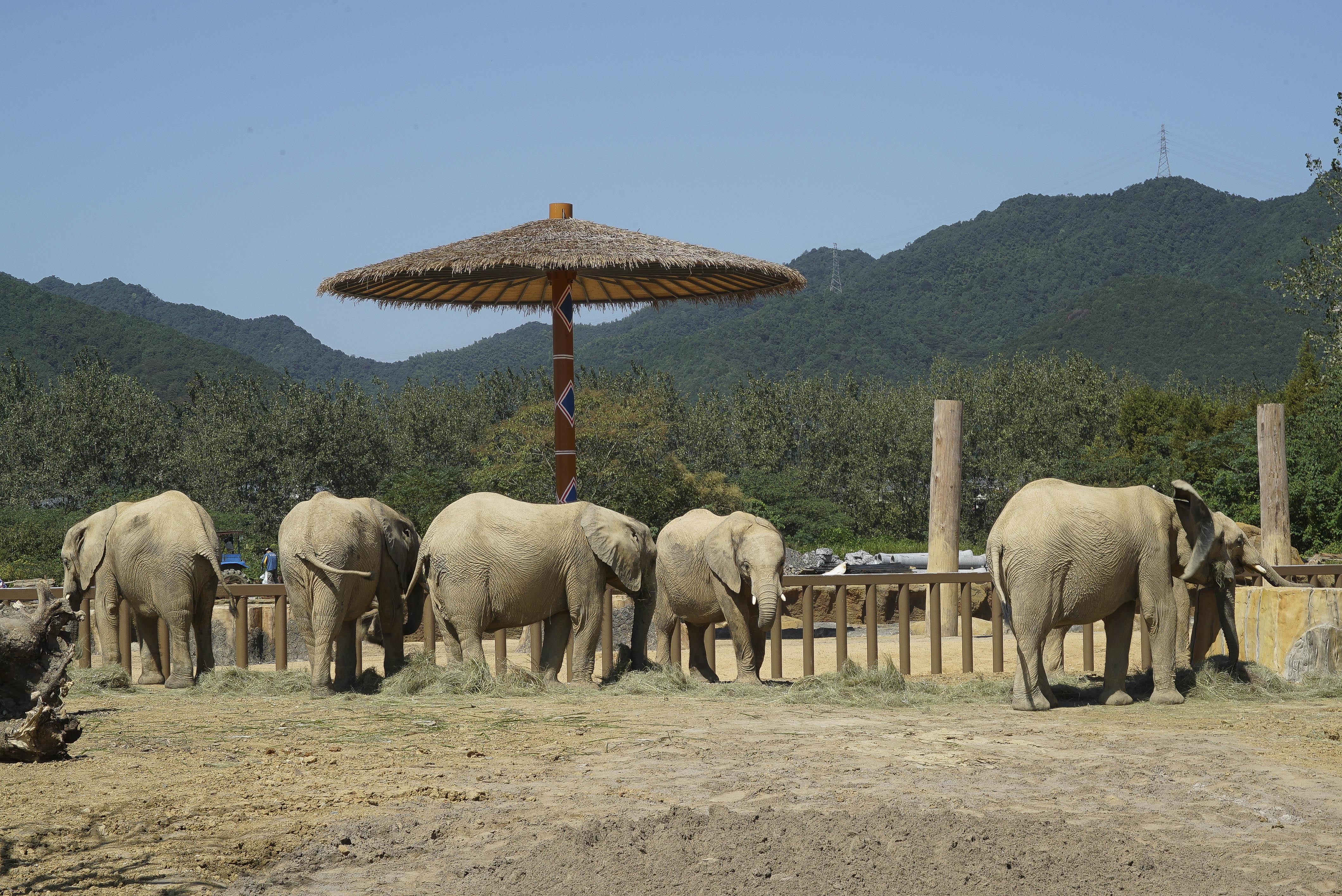 杭州野生动物世界非洲小象 国庆乔迁新家首秀