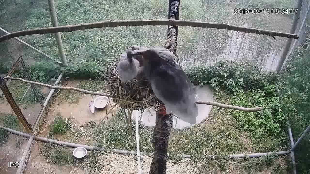 杭州野生动物世界的国宝朱鹮三胞胎就要满月啦