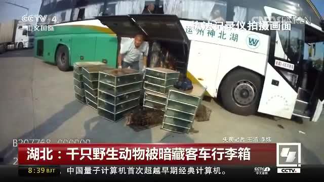 湖北:千只野生动物被暗藏客车行李厢