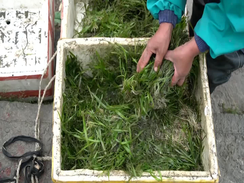 余杭塘栖:运河里面种水草 生态修复护水体