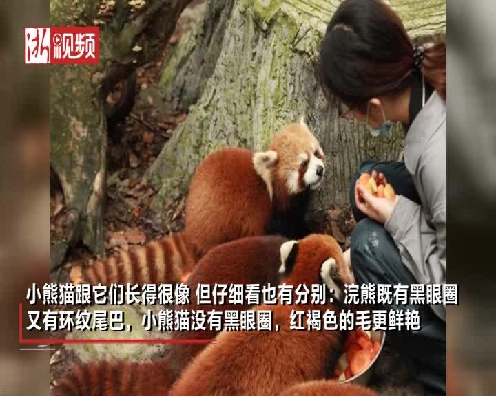 杭州动物园新增10只小熊猫