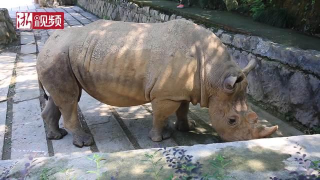 杭州野生动物世界  犀牛宝宝萌化人心