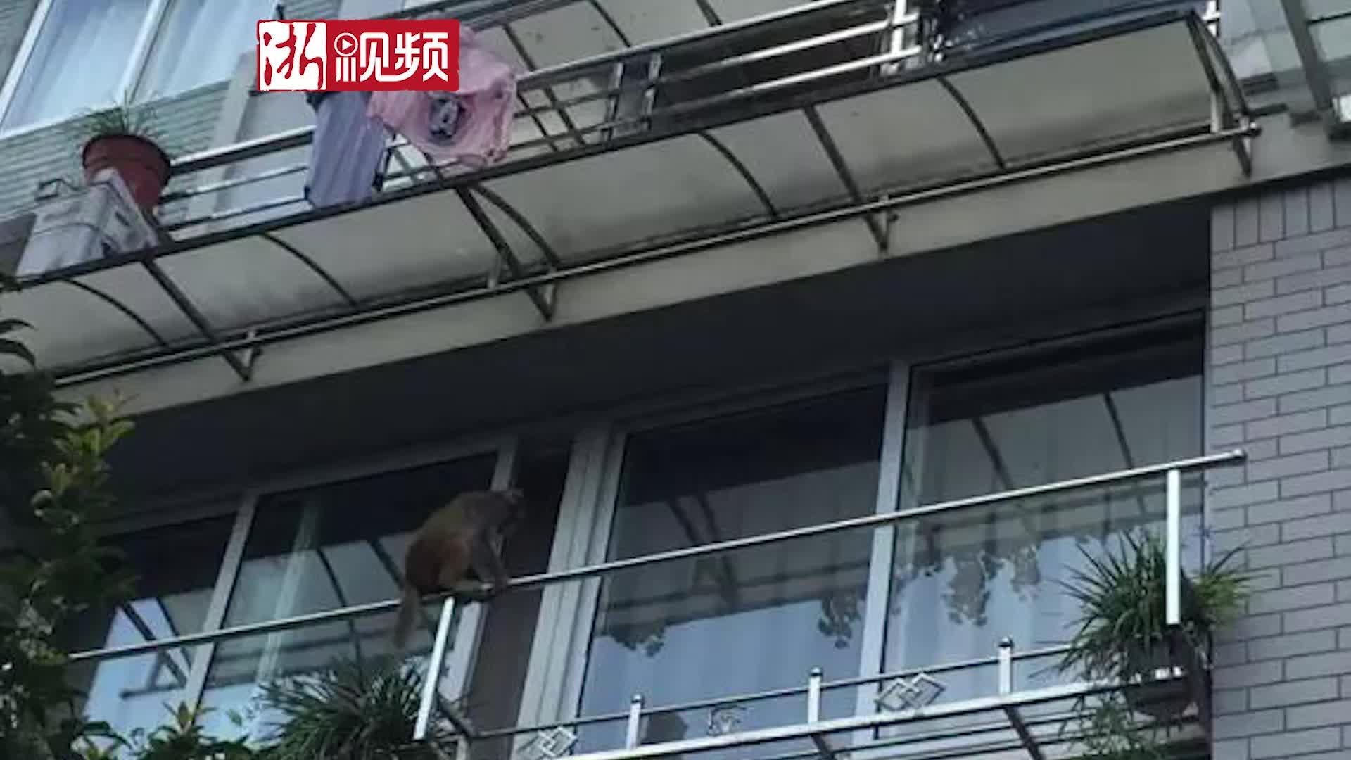 一天换一个地方 杭州萧山这只泼猴终于抓住了!