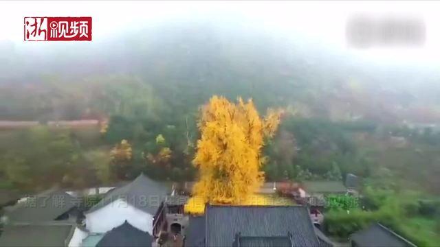 """西安千年古银杏成""""网红"""" 吸引7万人参观"""