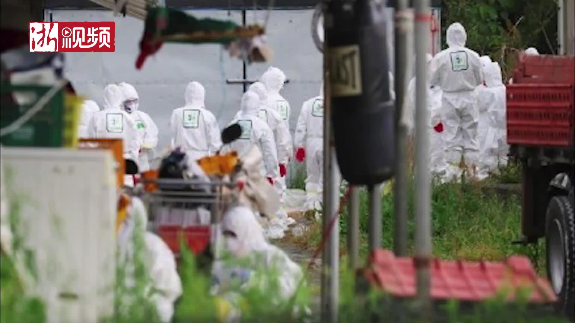禽流感病毒:韩国紧急扑杀家禽