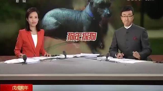 """狗年探狗 秘鲁 犬中""""暖男"""":秘鲁无毛犬"""