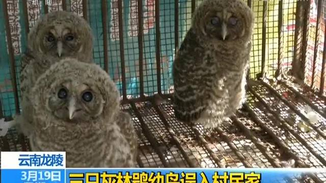 云南龙陵 三只灰林鸮幼鸟误入村民家