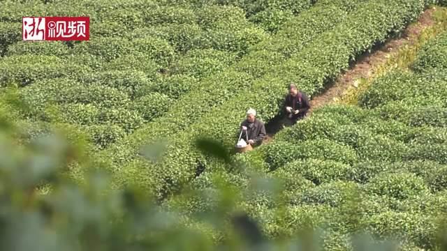 龙井茶农的苦恼:采茶工越来越难找