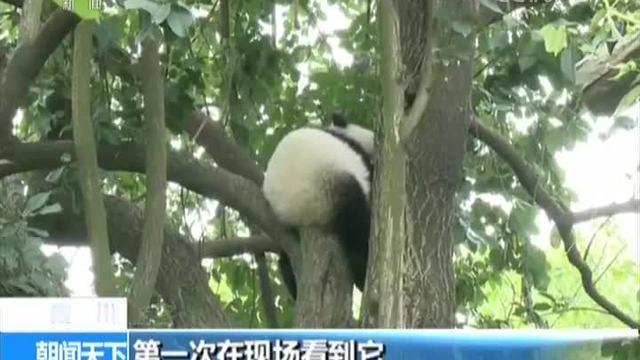 四川 大熊猫宝宝诞生 熊猫基地人气旺