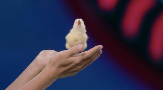 无壳孵化小鸡诞生