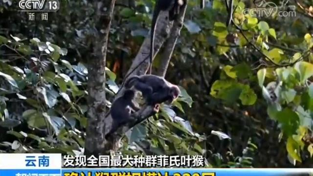 云南发现全国最大种群菲氏叶猴 确认猴群规模达320只