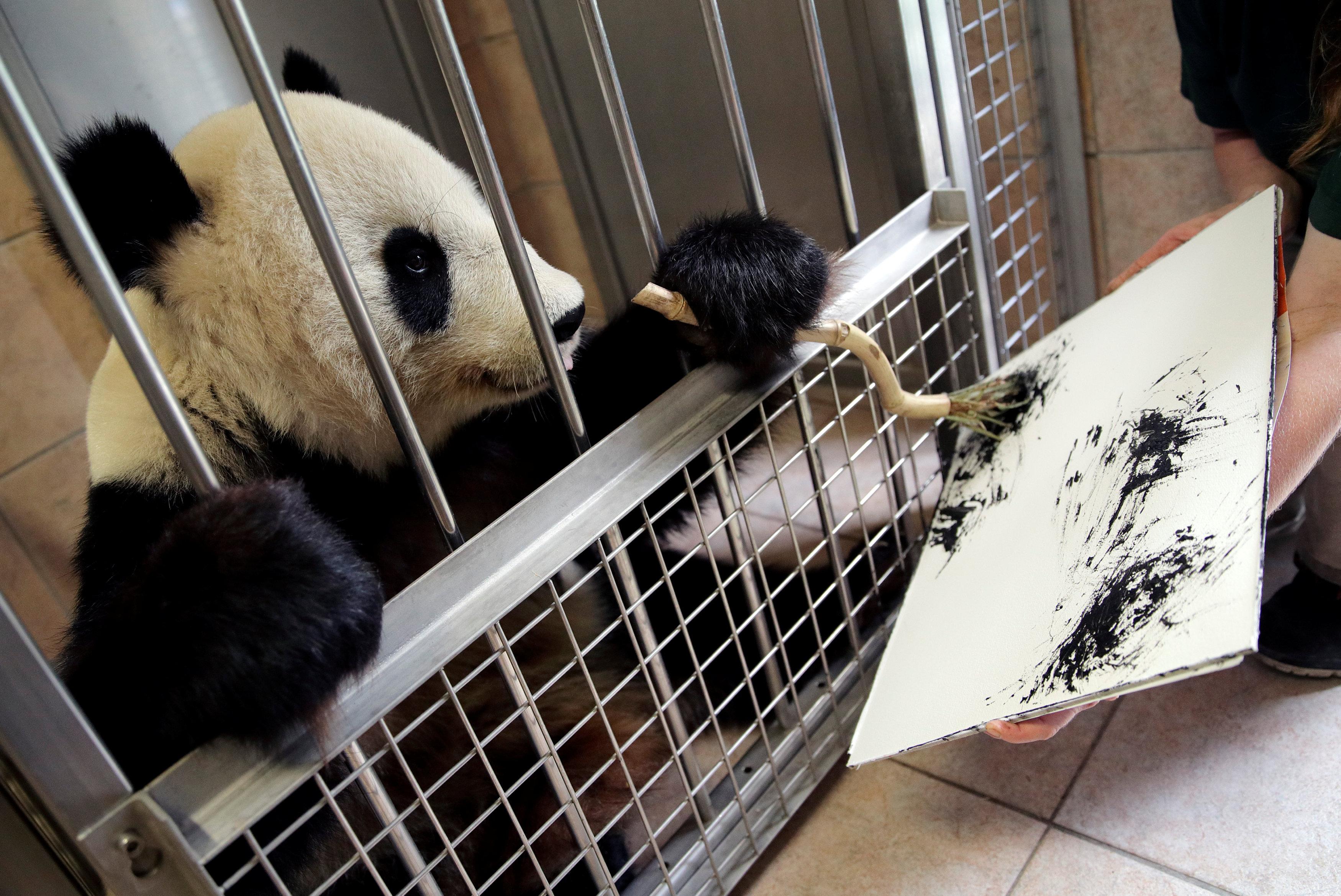 """动物界的绘画高手!大熊猫""""挥毫作画""""挣外快 每幅作品价值数千元"""