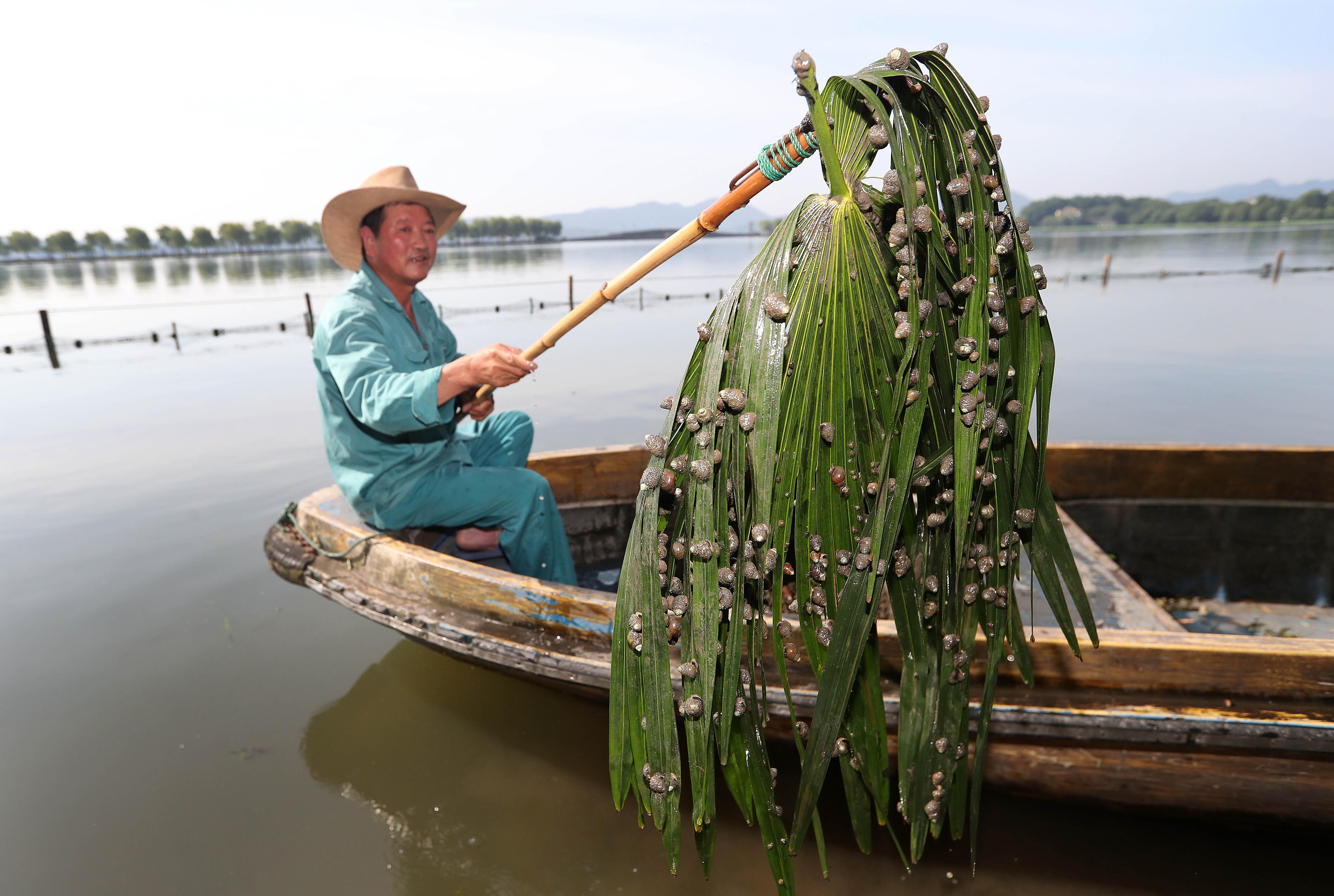 杭州西湖清理螺蛳有一套