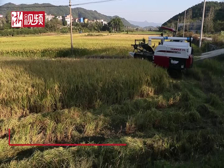 又到一年丰收时 浙江江山种粮大户稻田忙收割景象喜人