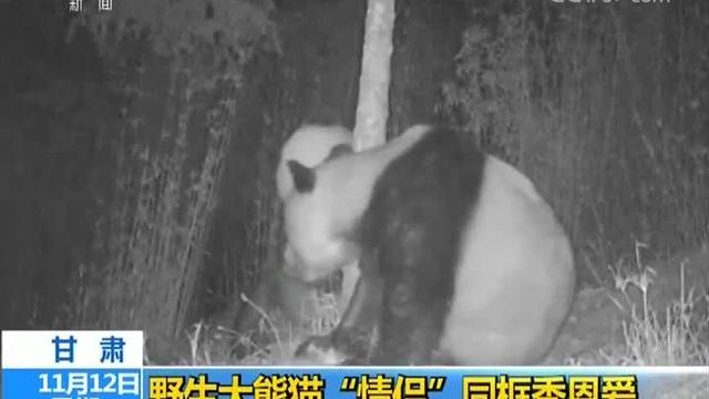 """甘肃:野生大熊猫""""情侣""""同框秀恩爱"""